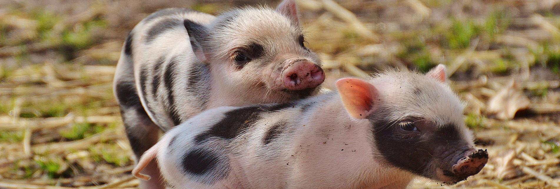 HERE PIGGY PIGGY…I NEED TO BORROW AN ORGAN